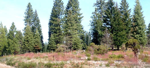 pine trees on an empty lot